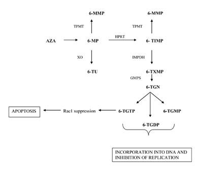 Metabolism of azathioprine and 6-mercaptopurine. XO = xanthine oxidase; TPMT = thiopurine methyltransferase; HPRT = hypoxanthine phosphoribosyltransferase; 6-TIMP = 6-thiosine 5'-monophosphate; IMPDH = inosine monophosphate dehydrogenase; GMPS = guanosine monophosphate synthetase; 6-TGMP = 6-thioguanine mono-phosphate; 6-TGDP = 6-thioguanine di-phosphate; 6-TGTP = 6-thioguanine tri-phosphate