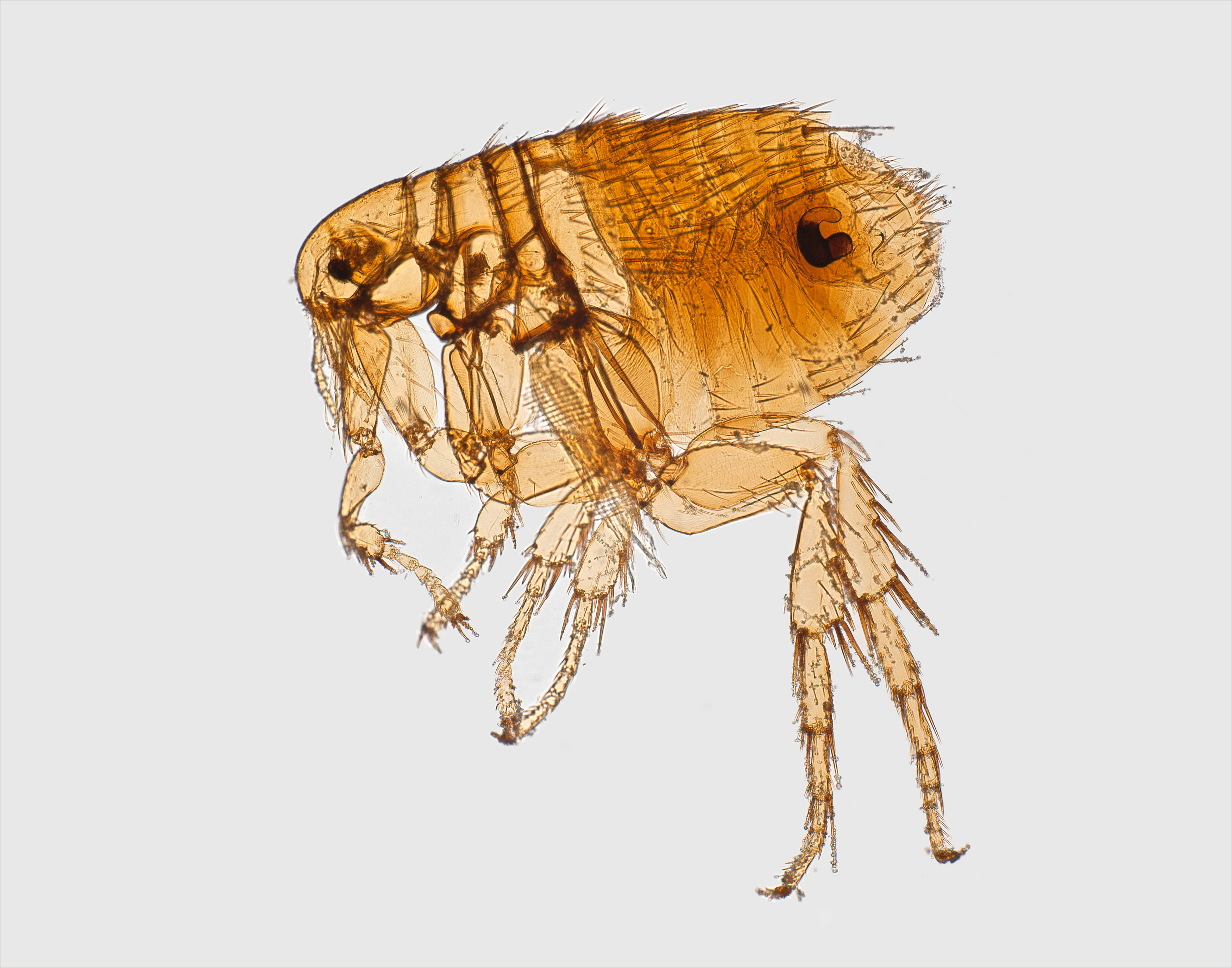 Image of a rat flea
