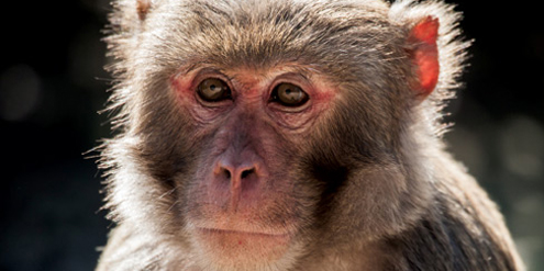 Rhesus macaques in Florida expose parkgoers to deadly virus