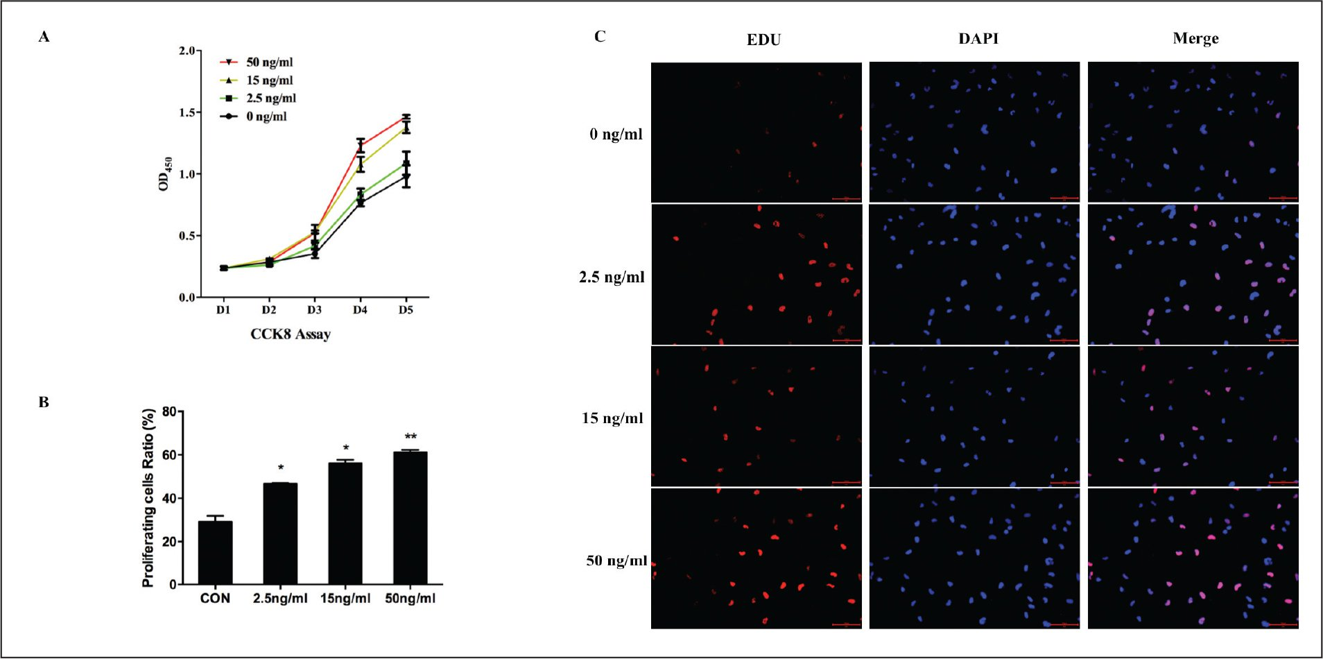 Effects of different concentrations of fibroblast growth factor 4 (FGF4) (2.5, 15, or 50 ng/mL) on the proliferation of human LEC cell line SRA01/04 (SRA) cells in vitro. (A) Compared with the control (0 ng/mL), cell viability increased significantly in cells treated with 15 or 50 ng/mL of FGF4, when measured with the Cell Counting Kit-8 (CCK8) assay (P < .05 from days 3 to 5). (B, C) SRA cell proliferation was measured with 5-ethynyl-2′-deoxyuridine (EdU). All cell nuclei were stained with 4′,6-diamidino-2-phenylindole (DAPI) and EdU labeling indicated replicating cells. The proportion of proliferating cells increased as the FGF4 concentration increased. Bar = 100 µm. OD = optical density. *P < .05, **P < .001.