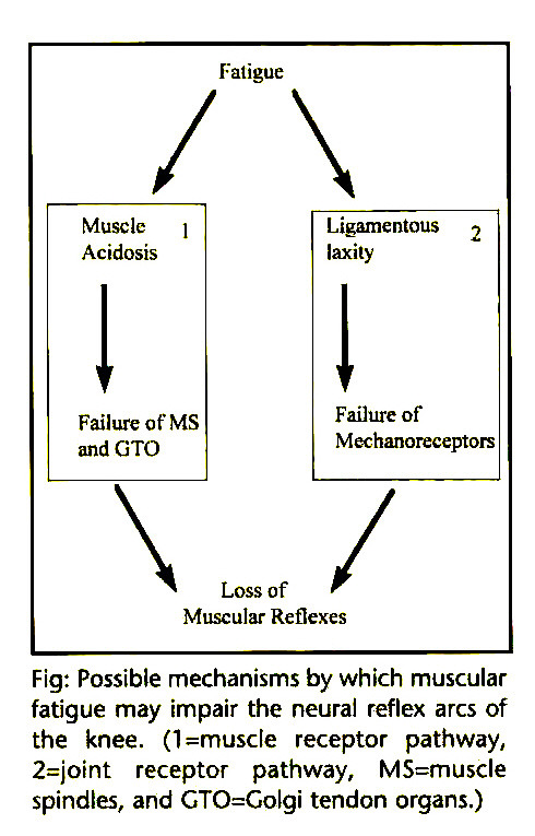 knee proprioception: a review of mechanisms, measurements, and, Muscles