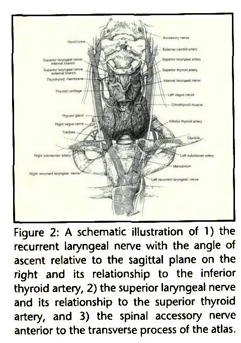 Figure 2: A schematic illustration of 1) the recurrent laryngeal nerve with the angle of ascent relative to the sagittal plane on the right and its relationship to the inferior thyroid artery, 2) the superior laryngeal nerve and its relationship to the superior thyroid artery, and 3) the spinal accessory nerve anterior to the transverse process of the atlas.