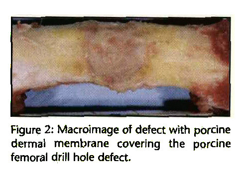 Figure 2: Macroimage of defect with porcine dermal membrane covering the porcine femoral drill hole defect.