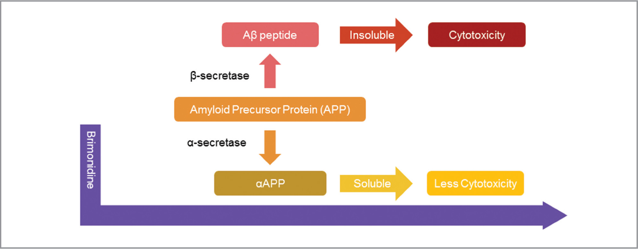 Processing of amyloid precursor protein (APP) and brimonidine. APP can be cleaved by α-secretase to produce a more soluble peptide, αAPP, which is considered less toxic than Aβ. Processing of APP by β-secretase leads to the production of Aβ and its attendant cytotoxicity. Brimonidine is thought to preferentially favor production of αAPP, thereby reducing overall cytotoxicity.