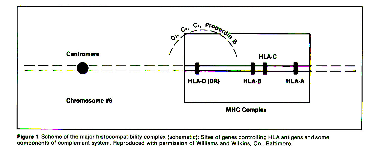 Figure 1. Scheme of the major histocompatibility complex (schematic): Sites of genes controlling HLA antigens and some components of complement system. Reproduced with permission of Williams and Wilkins. Co., Baltimore.