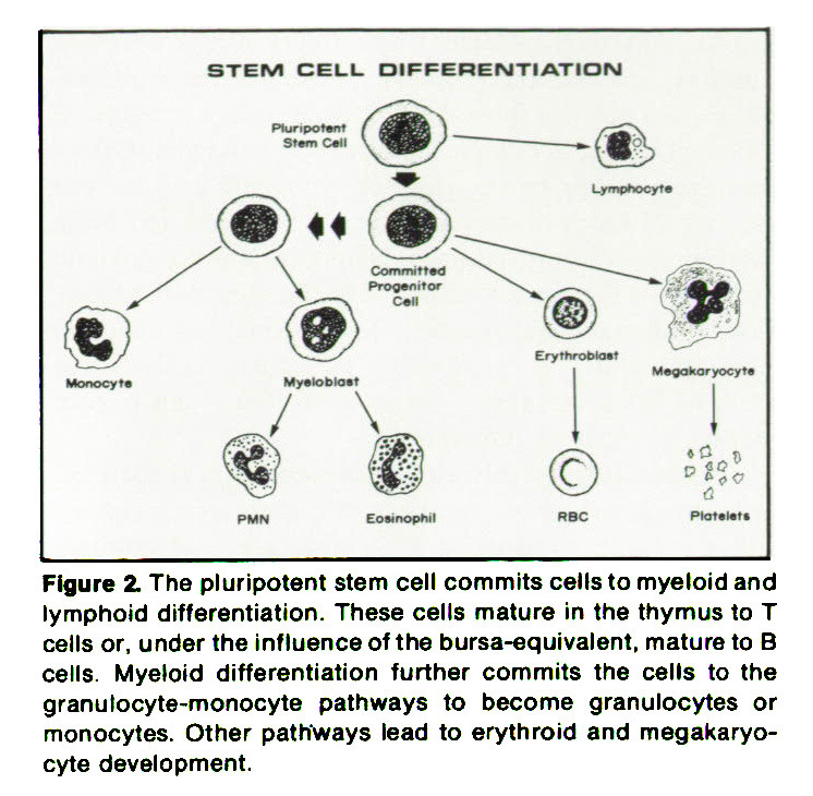 Figure 2. The pluripotent stem cell commits cells to myeloid and lymphoid differentiation. These cells mature in the thymus to T cells or, under the influence of the bursa-equi valent, mature to B cells. Myeloid differentiation further commits the cells to the granulocyte-monocyte pathways to become granulocytes or monocytes. Other pathways lead to erythroid and megakaryocyte development.