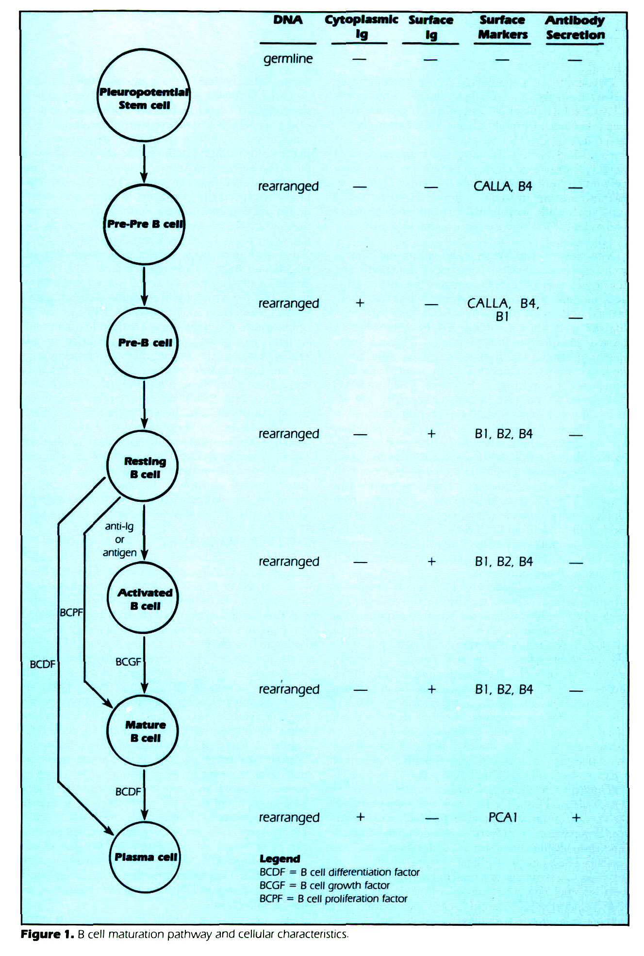 Figure 1. B cell maturation pathway and cellular characteristics.