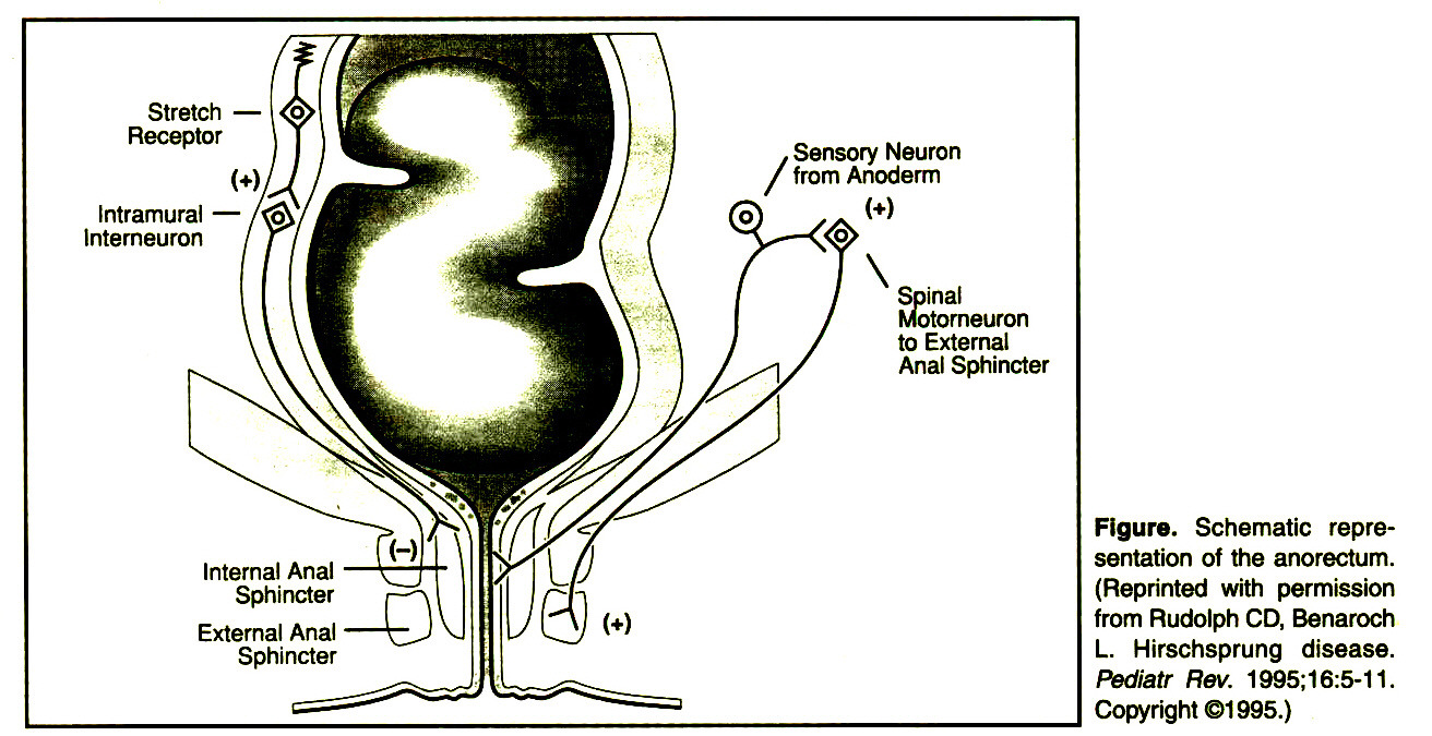 Figure. Schematic representation of the anorectum. (Reprinted with permission from Rudolph CD, Benaroch L. Hirschsprung disease. Pediatr Rev. 1995;16:5-11. Copyright ©1995.)
