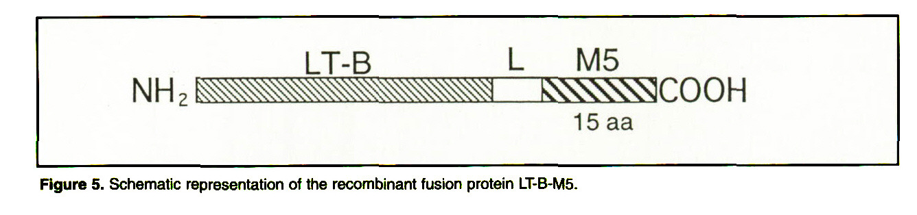 Figure 5. Schematic representation of the recombinant fusion protein LT-B-M5.