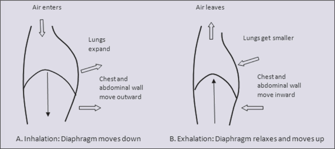 Movement of Diaphragm, Chest, and Abdominal Wall During Normal Tidal Breathing. A (left). Inspiration. B (right). Expiration. Image Provided By: Zoran Danov, MD; and Mary K. Schroth, MD.