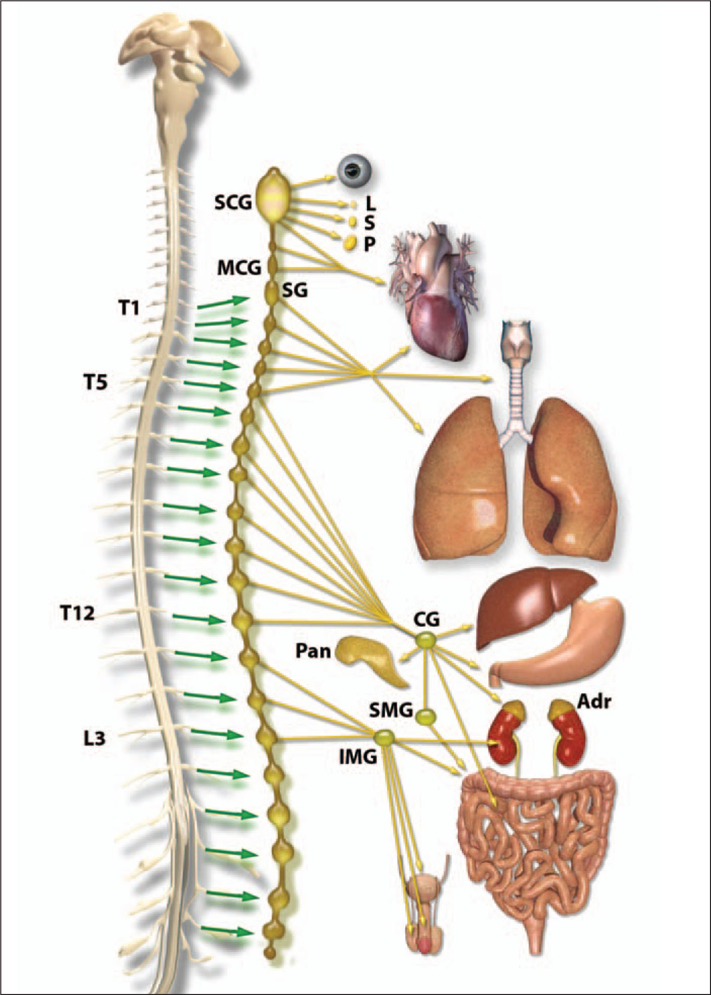 The Sympathetic Nervous System. The Diagram Shows the Thoracolumbar Projection Between T1 and L2 that Forms the Core of the Sympathetic System. Sympathetic Neurons are Located in the Intermediolateral Column of the Spinal Cord. Preganglionic Fibers from the Intermediolateral Column Project to Paravertebral, or Sympathetic Trunk Ganglia. Fibers from These Ganglia Either Innervate Target Organs Directly or Synapse on Prevertebral Ganglia Before Reaching Target Organs. SCG: Superior Cervical Ganglion; L: Lachrymal Gland; S: Salivary Gland; P: Parotid Gland; MCG: Middle Cervical Ganglion; SG: Stellate Ganglion; CG: Celiac Ganglion; Pan-Pancreas; SMG: Superior Mesenteric Ganglion; Adr: Adrenal Gland; IMG: Inferior Mesenteric Ganglion; III: Cranial Nerve III (oculomotor Nerve); VII: Cranial Nerve VII (facial Nerve); IX: Cranial Nerve IX (glossopharyngeal Nerve); X: Cranial Nerve X (vagus Nerve). A Note from the Editors: All Illustrations in This Article Have Been Created by George I. Viamontes, MD, PhD, for Specific Use in This Issue of Psychiatric Annals.