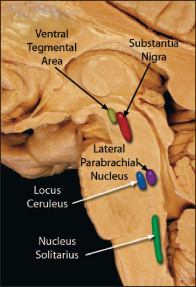 The Nucleus Solitarius, or Nucleus of the Solitary Tract (NST). The NST Appears to Be an Important Element in the Central Detection of Peripherally Produced Cytokines and in the Generation of Physiological and Behavioral Responses. The Vagus and Glossopharyngeal Nerves Have Been Shown to Detect IL-1-Beta and to Mediate Activation of the NST.