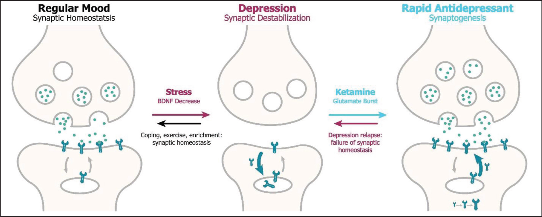 Effects of depression and ketamine on synaptic glutamate release and its subsequent binding to AMPA (alpha-amino-3-hydroxy-5-methyl-4-isoxazolepropionic) receptors leading to synaptogenesis in the prefrontal cortex. BDNF, brain-derived neurotrophic factor. Adapted from Abdallah et al.30