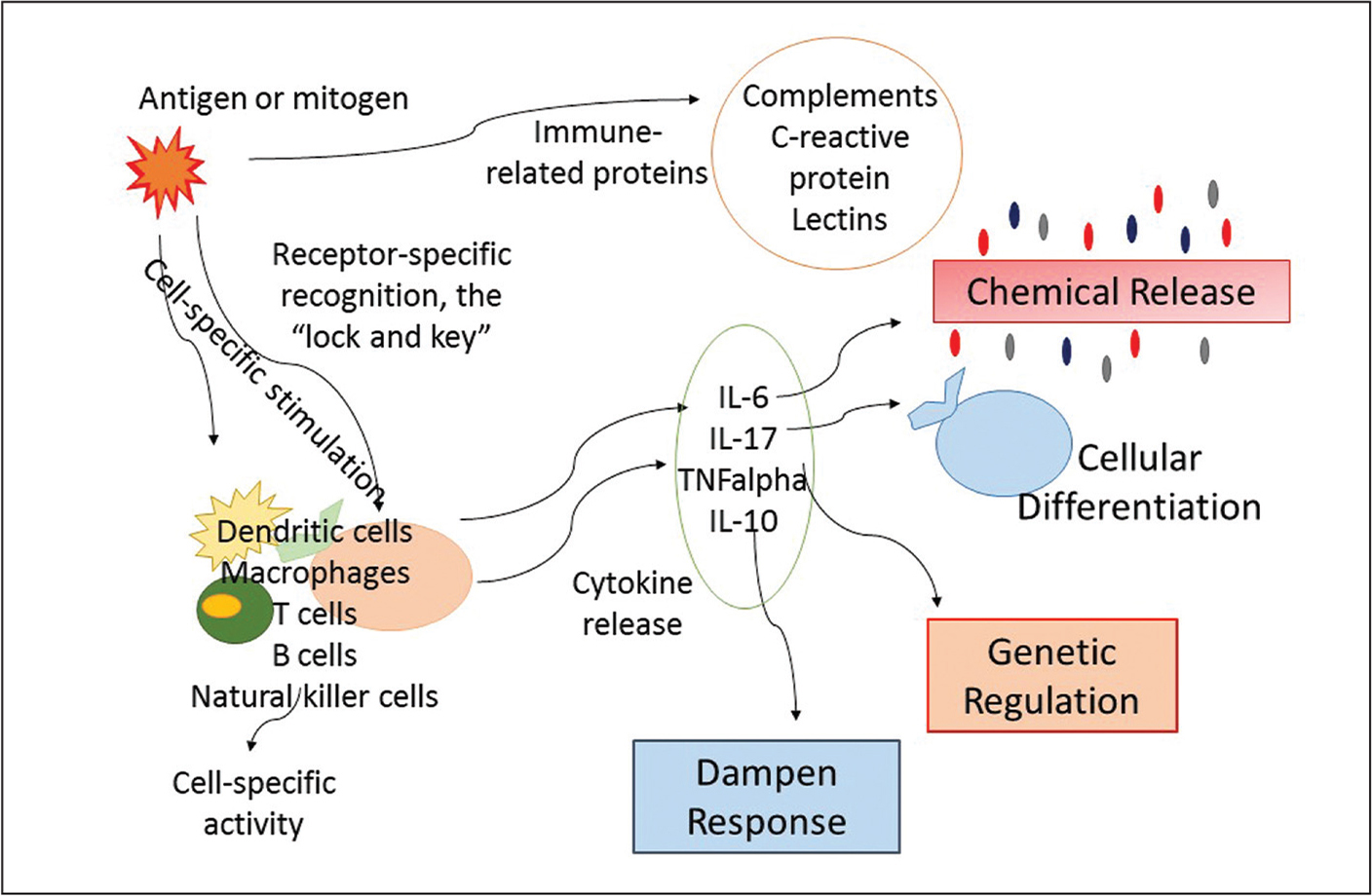 The multistep cascade resulting from immune stimuli. At each stage, targeted and specific responses are tailored to the stimuli in order for the host to appropriately respond.