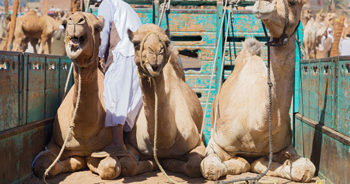 Camels on a cart at an animal market