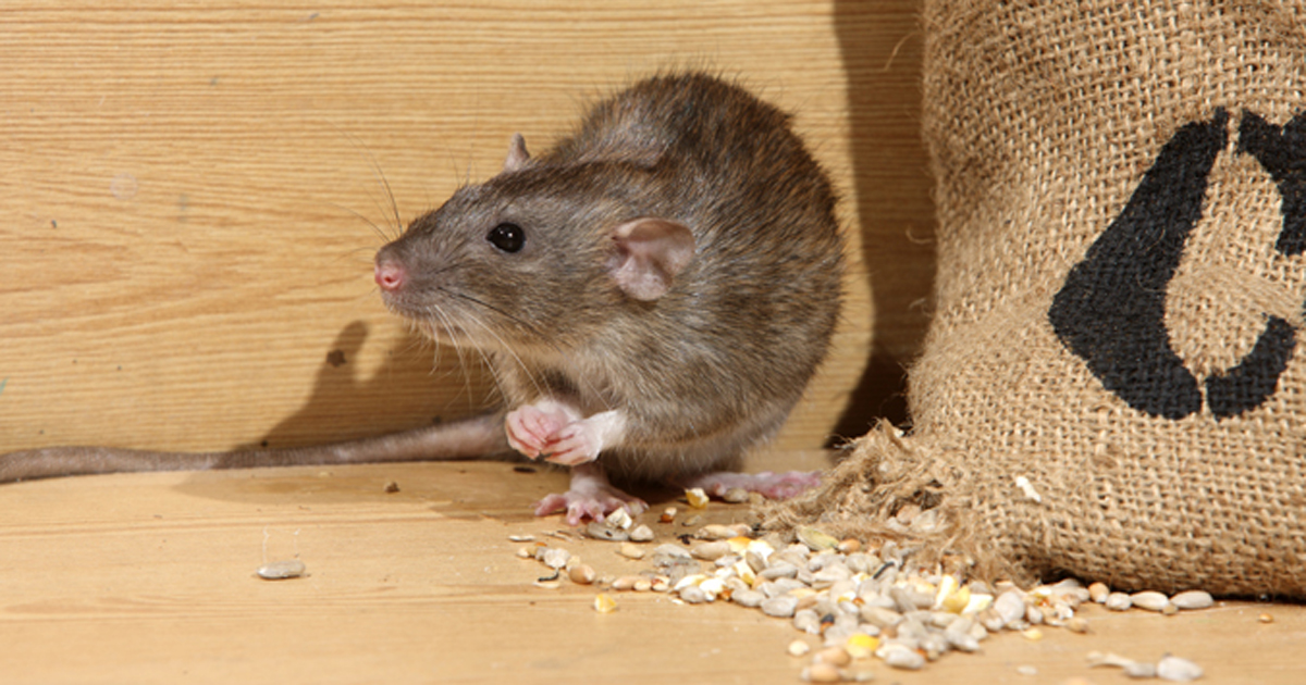 Photo of a Norway rat