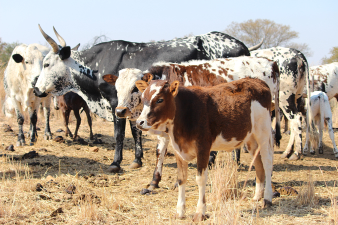 Photo of South African cattle