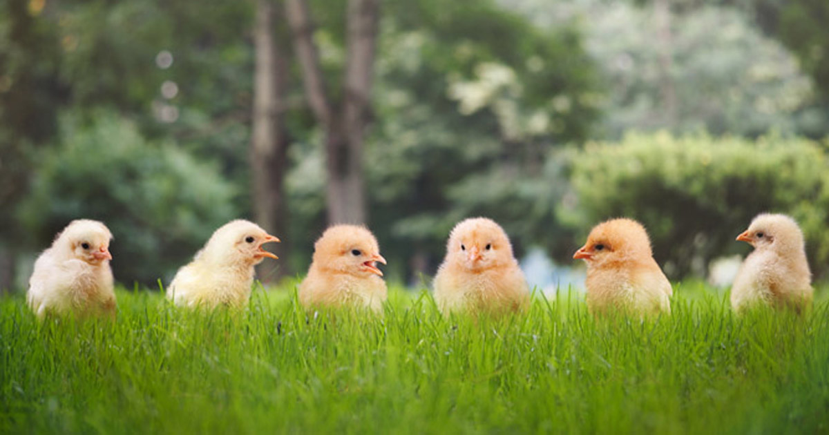 Photo of chickens in a yard